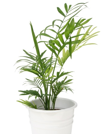 Green leaves of bamboo palm tree isolated on white background Stock Photo