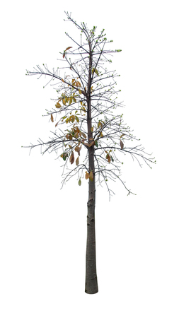 distort: dry leaves on tree in autumn season isolated on white background Stock Photo