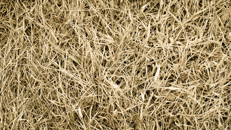 straw twig: dry yellow grass texture background