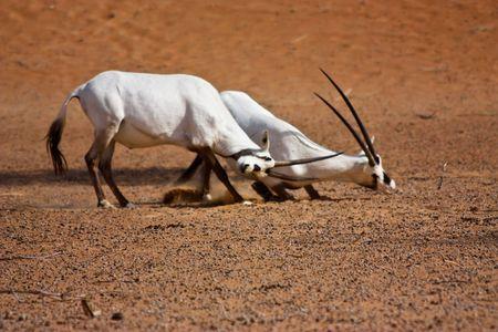 oryx: Rutting Oryx