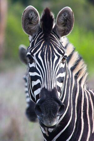 zebra head: Zebra Stock Photo