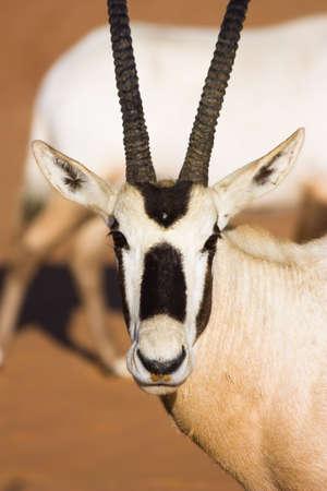 oryx: Arabian Oryx Stock Photo