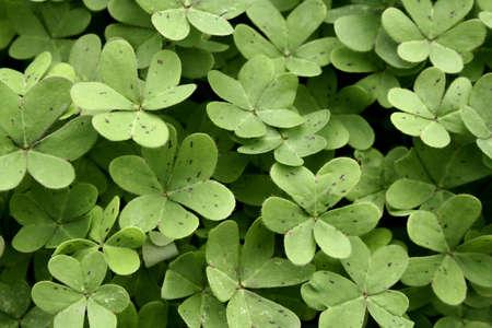 a lot of green clover