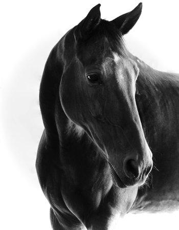 potrait: Black & White Horse Potrait