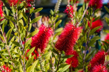 Close up of a red Bottlebrush tree in bloom. Stock Photo - 19932021