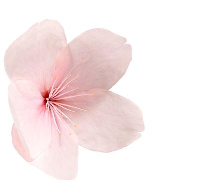 Cherry blossom geïsoleerd op wit Stockfoto