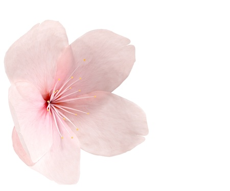 Cherry blossom isolated on white Stock Photo