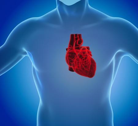 3d rendering of human heart anatomy Stock Photo - 20447983