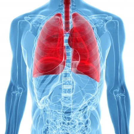 엑스레이보기에서 인간의 폐의 해부학