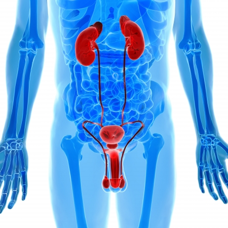 Male genitals and Kidneys anatomy