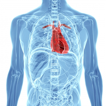 human heart inside human x-ray body isolated on white background Standard-Bild