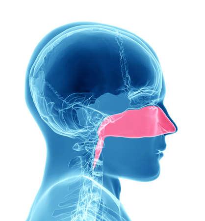 3D-rendering illustratie van menselijke neusholte