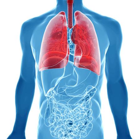 aparato respiratorio: cuerpo humano bajo los rayos X. aislado en blanco con pulmones resaltadas