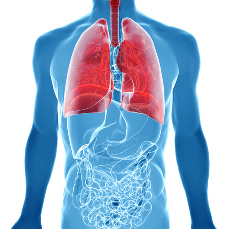 human body under X-rays isolated on white with highlighted  lungs