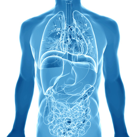 인체의 내부 장기를 묘사 3D 스톡 콘텐츠