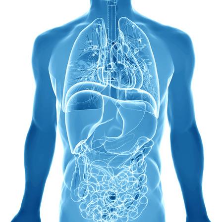 3 D レンダリング、人間の体の臓器を描いた 写真素材