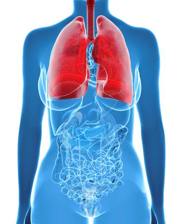 bronchi: Pulmones femeninas y bronquios en vista de rayos x Foto de archivo