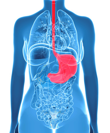 gastroparesis: Stomach anatomy of human with all internal organs