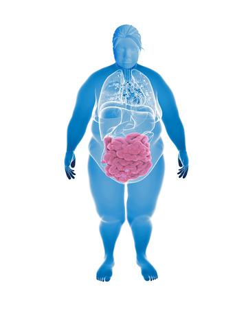 intestino grueso: Render Ilustración de Órganos de Mujer obesa con hihglighted Intestino delgado  de colon Foto de archivo