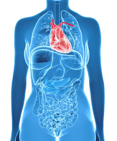 educacion fisica: corazón humano dentro del cuerpo de rayos x mujeres aisladas en fondo blanco