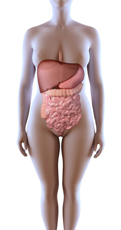 3d rendered illustration of the female digestive system Stock Illustration - 27546163