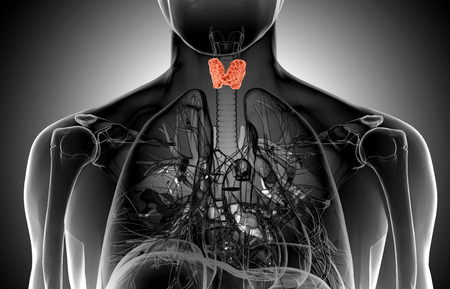 Male thyroid gland  anatomy in x-ray view