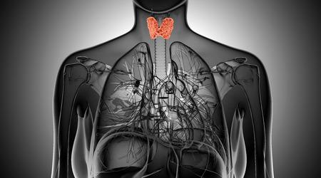 Female thyroid gland  anatomy in x-ray view photo