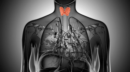 thyroid: Female thyroid gland  anatomy in x-ray view Stock Photo