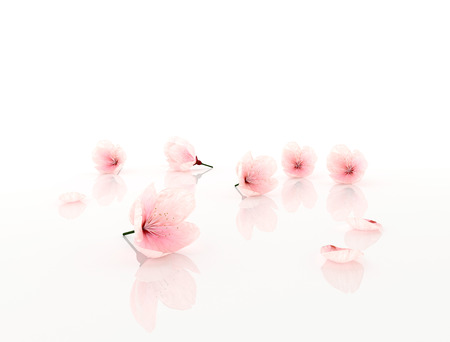Cherry blossom, sakura flowers isolated on white background Stock fotó - 29259946
