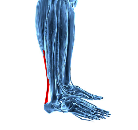 leg injury: 3d rendering of human achilles tendon Stock Photo