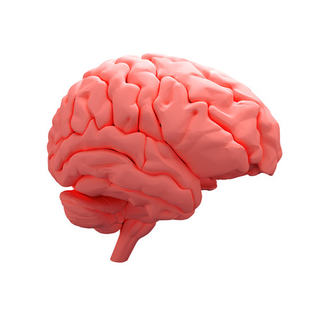 red brain model isolated on white background