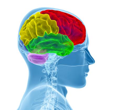 brainy: Brain model xray look isolated on white background