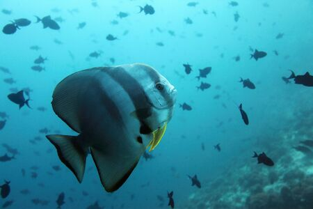 Bat fish within the indian ocean