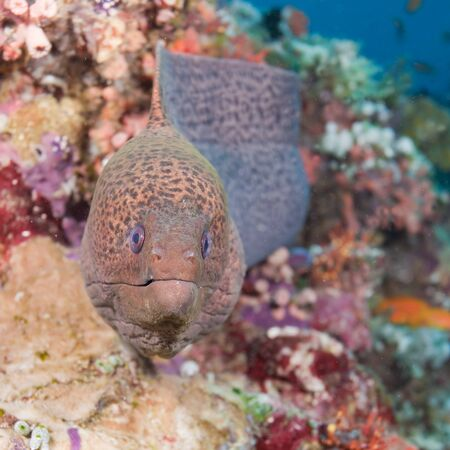Close-up of a moray within the indian ocean Stock Photo - 7500400