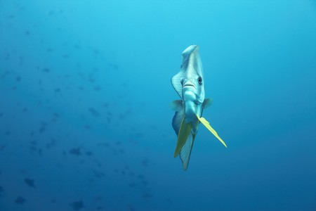A bat fish within the indian ocean Stock Photo - 7500404