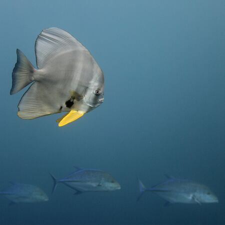 Three tunas passing a huge bat fish Stock Photo - 7537270