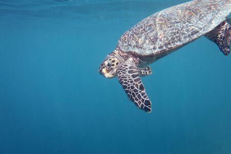 Maldivian turtle Stock Photo - 7537281