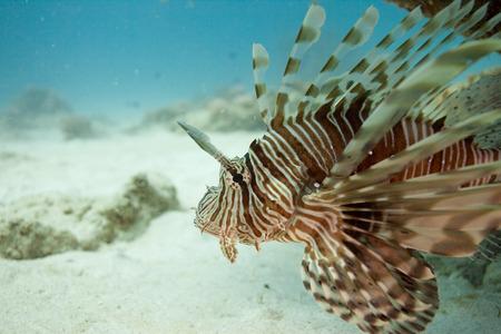 Lion fish Mauritius