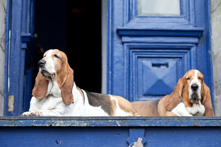 hounds: Basset hounds