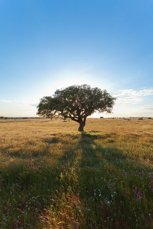Tree on a meadow in Algarve, Portugal Stock Photo