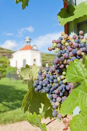 viniculture: Viniculture