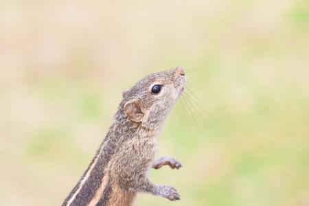 Sniffing Squirrel, Ahungalla, Sri Lanka, Asia