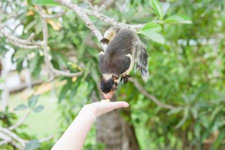 Madu Ganga, Balapitiya, Sri Lanka - An Indian Giant Squirrel sitting on branch sniffing at some food
