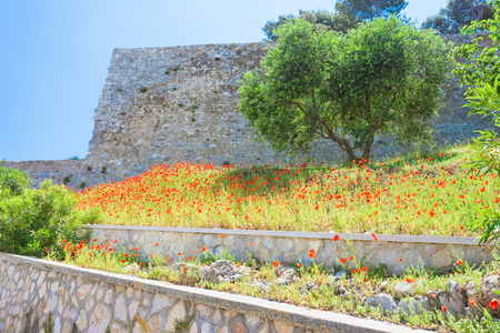 Vieste, Italy, Europe - Poppy field at the historic fortress of Vieste Standard-Bild - 103362569