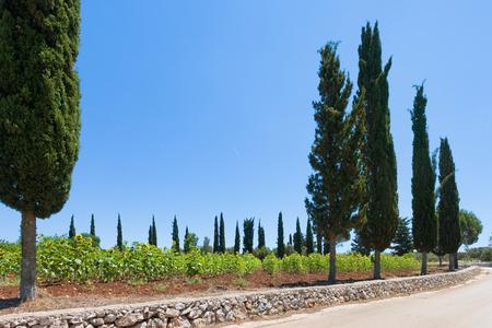 Santa Cesarea Terme, Apulia, Italy - Sunflowers alongside the country roads of Apulia