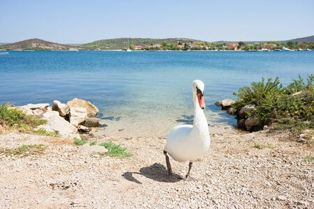 Bilice, Sibenik-Knin, Croatia, Europe - A white swan walking upwards the beach