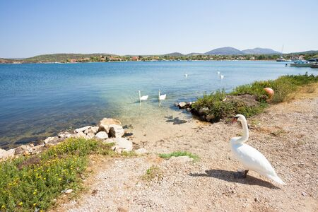 Bilice, Sibenik-Knin, Croatia, Europe - A swan cob waiting for its family at the beach Standard-Bild