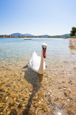 Bilice, Sibenik-Knin, Croatia, Europe - A young curious swan looking out