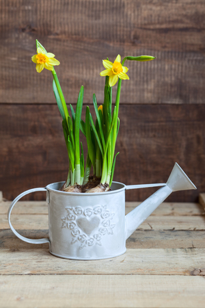 wateringcan: narcissus in watering-can on wooden table
