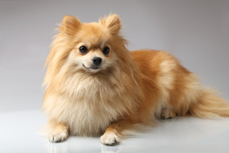 small dog: Small German Spitz
